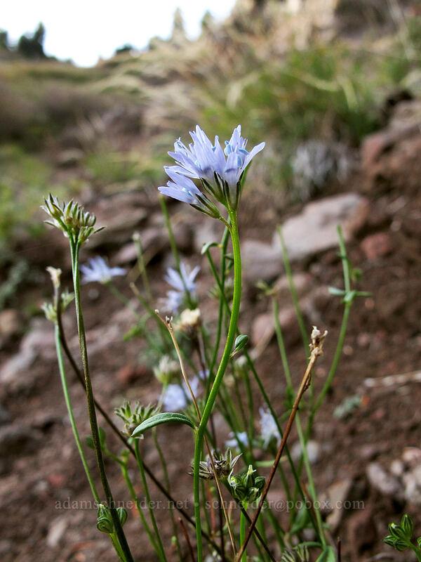 blue-headed gilia (Gilia capitata) [Bald Mountain, Mt. Hood Wilderness, Oregon]