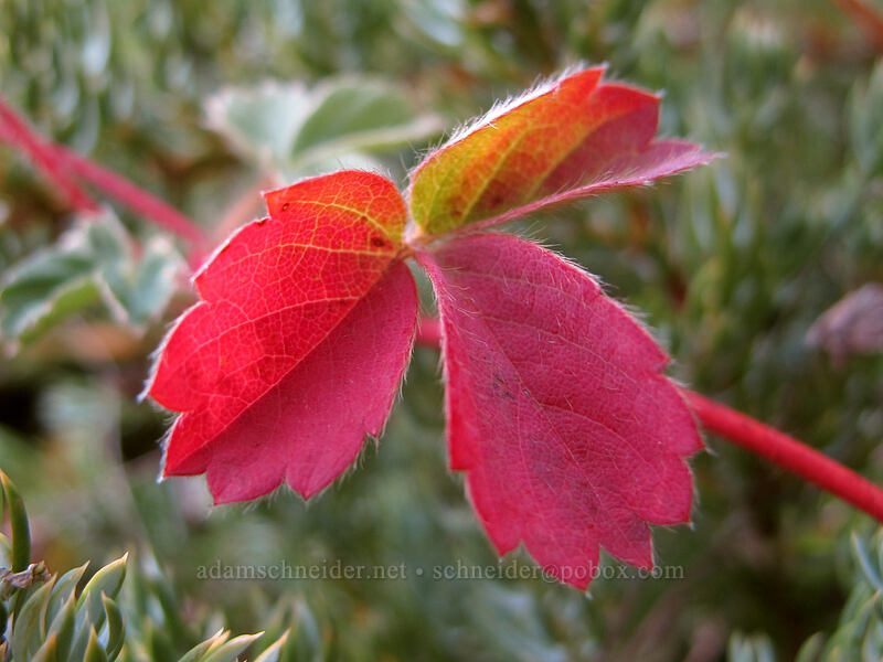 strawberry leaf (Fragaria virginiana) [Bald Mountain, Mt. Hood Wilderness, Oregon]