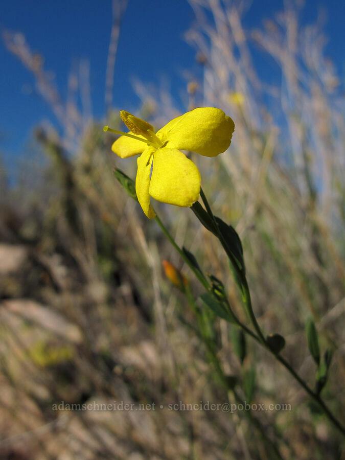 rough menodora (broom twinberry) (Menodora scabra (Menodora scoparia)) [Boulder Canyon Trail, Tonto National Forest, Arizona]