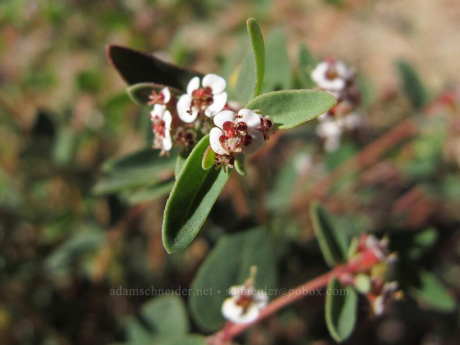 red-gland spurge (sandmat) (Euphorbia melanadenia (Chamaesyce melanadenia)) [Boulder Canyon Trail, Tonto National Forest, Arizona]