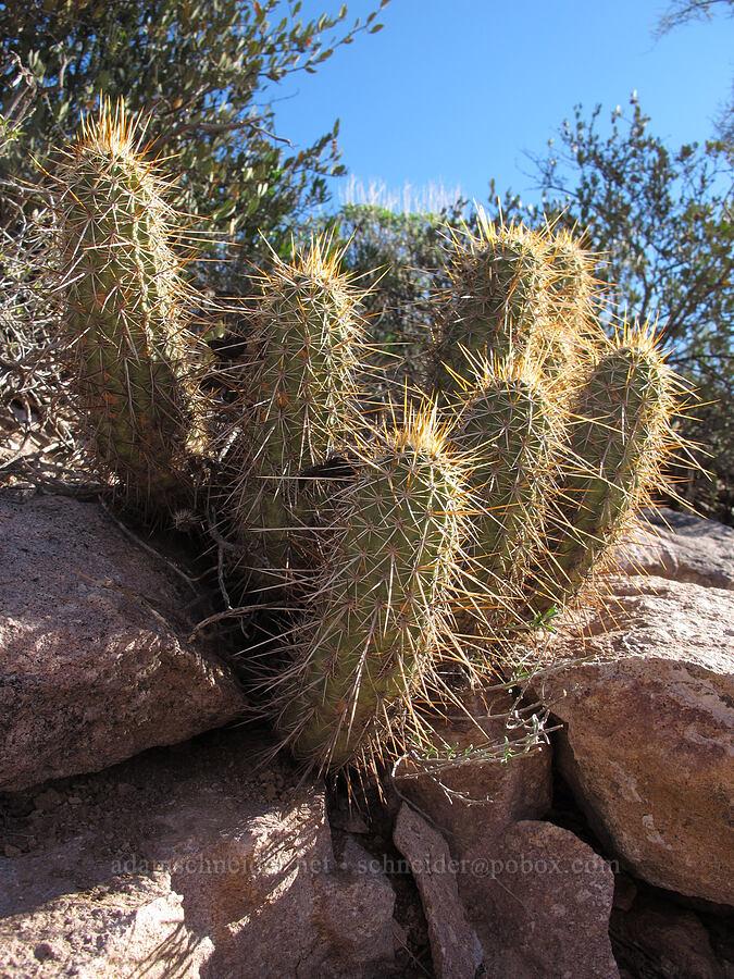 hedgehog cacti (Echinocereus fendleri) [Boulder Canyon Trail, Superstition Wilderness, Arizona]