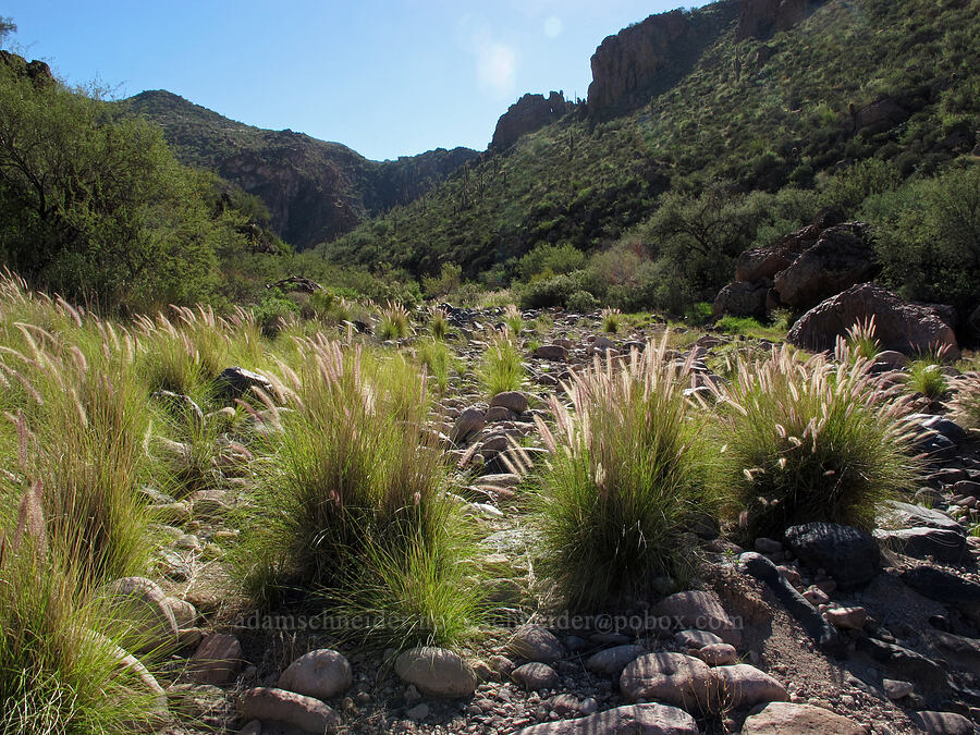 grasses [Lower La Barge Canyon, Superstition Wilderness, Arizona]