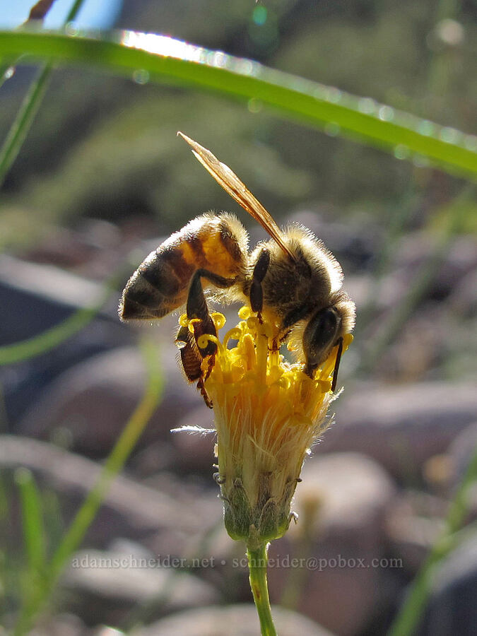 honeybee on sweetbush (Apis mellifera, Bebbia juncea) [Lower La Barge Canyon, Superstition Wilderness, Arizona]