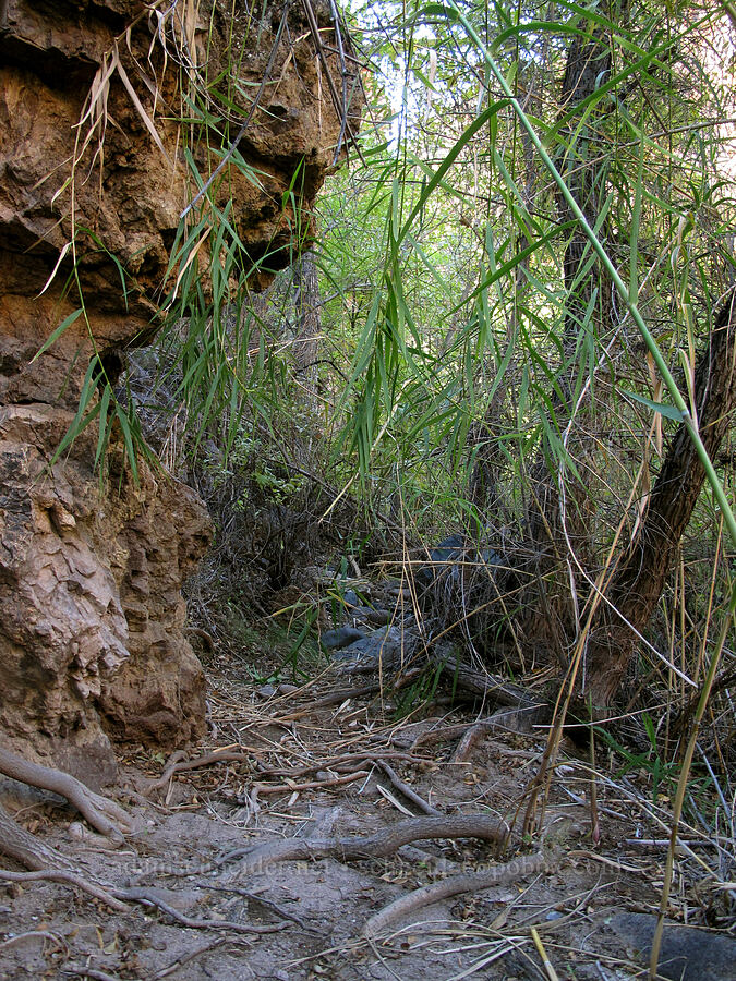 overgrown route [Lower La Barge Canyon, Superstition Wilderness, Arizona]