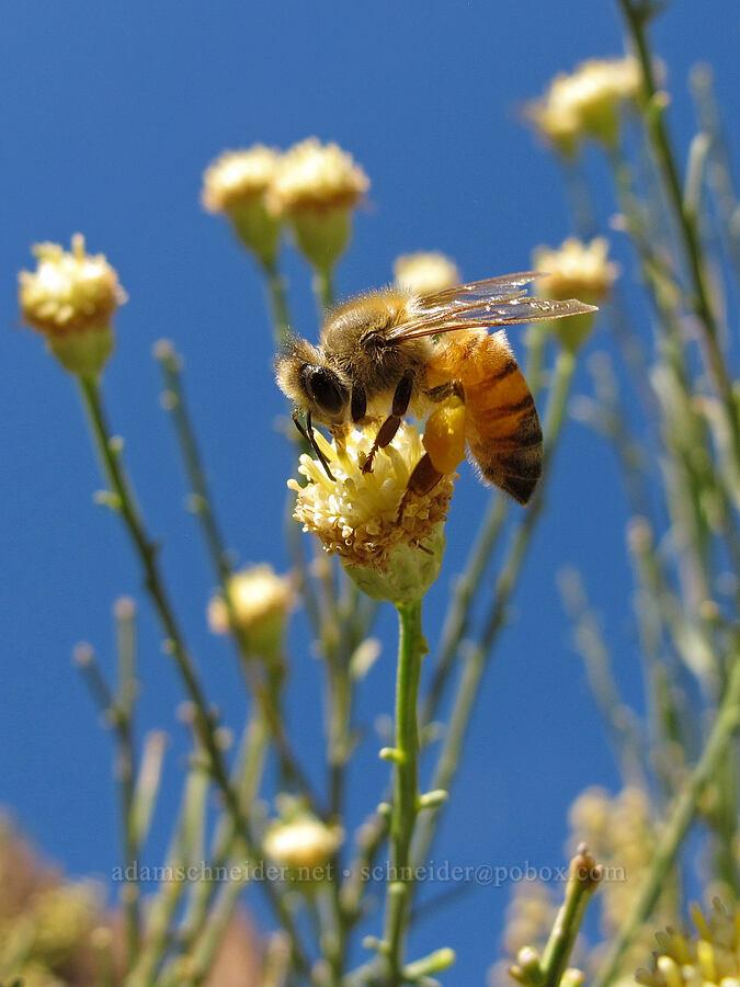 honeybee on desert-broom (Baccharis sarothroides) [Lower Boulder Canyon, Superstition Wilderness, Arizona]