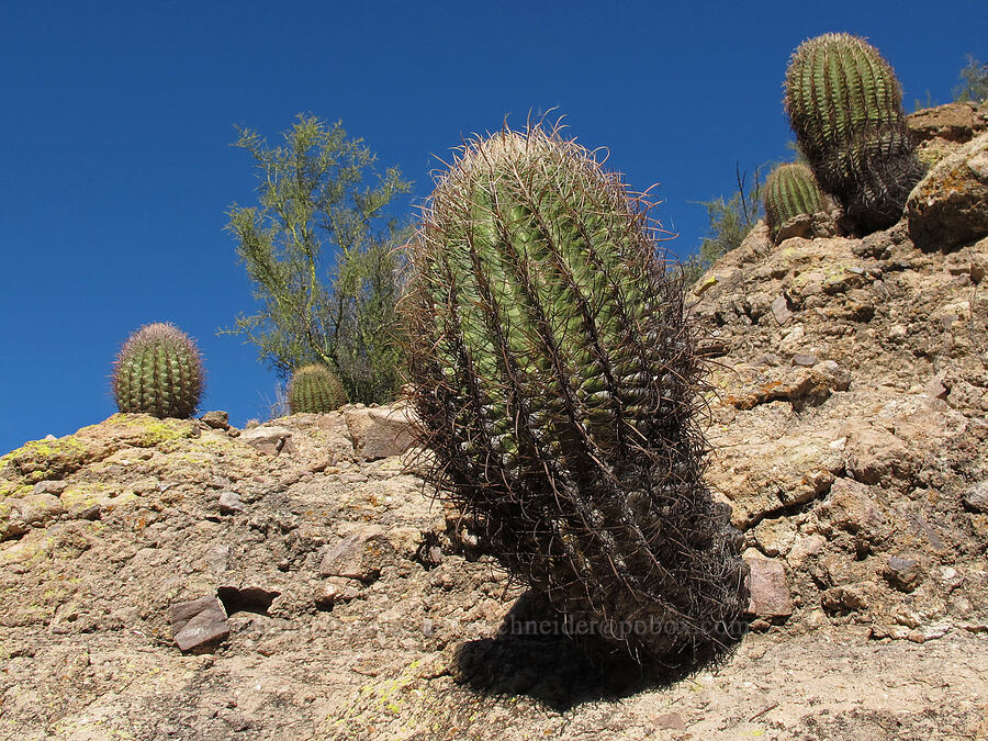 desert barrel cactus (Ferocactus cylindraceus) [Lower Boulder Canyon, Superstition Wilderness, Arizona]