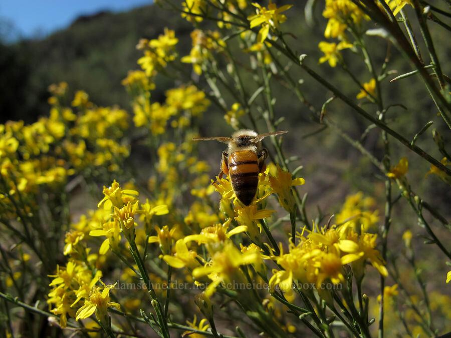 honeybee on broom snakeweed (Gutierrezia sarothrae) [Lower Boulder Canyon, Superstition Wilderness, Arizona]