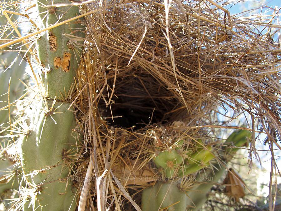 bird's nest in a buckhorn cholla (Cylindropuntia acanthocarpa) [Boulder Canyon Trail, Superstition Wilderness, Arizona]