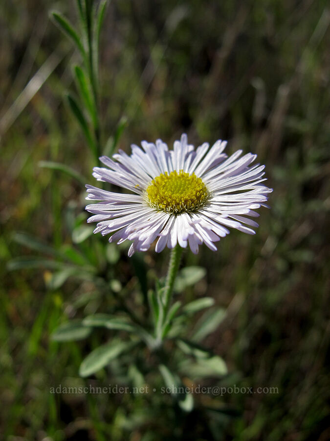 spreading fleabane (Erigeron divergens) [Boulder Canyon Trail, Superstition Wilderness, Arizona]