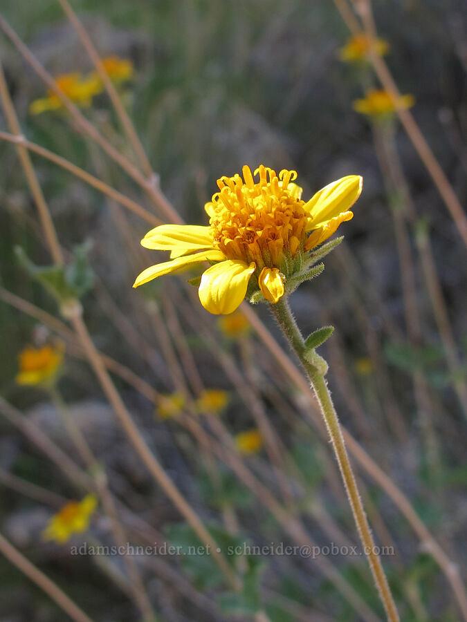 shrubby golden-eye (Bahiopsis parishii) [Boulder-La Barge saddle, Superstition Wilderness, Arizona]