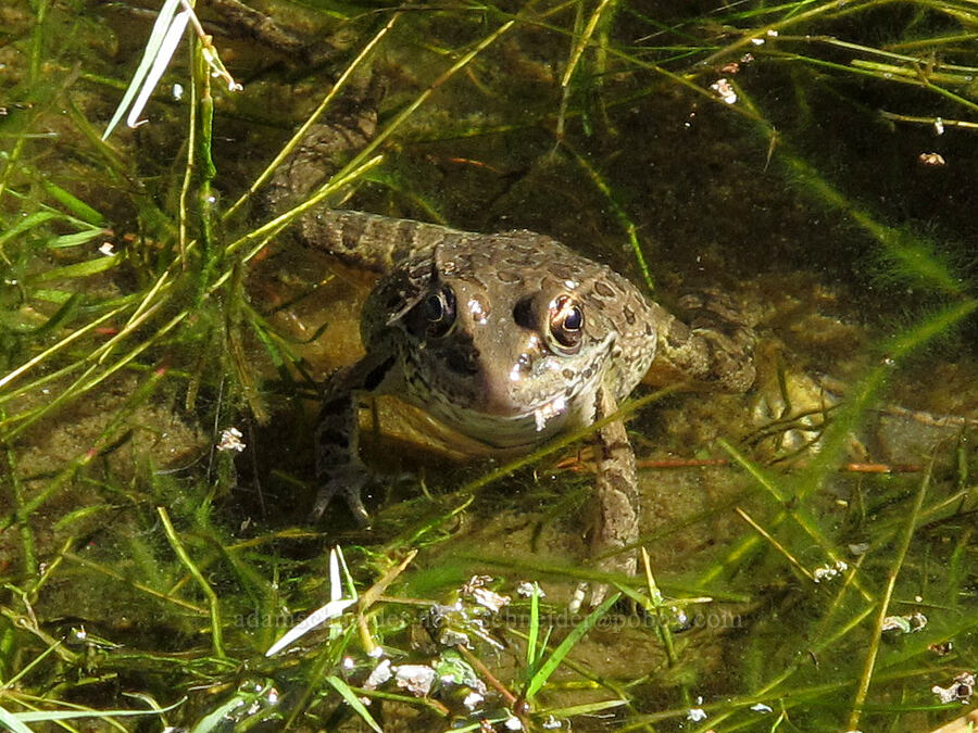 leopard frog (Lithobates sp.) [La Barge Canyon, Superstition Wilderness, Arizona]