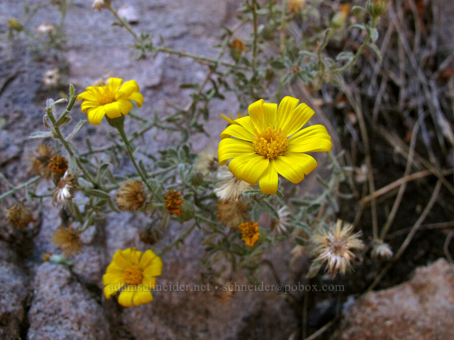 false golden-aster? [La Barge Box Canyon, Superstition Wilderness, Arizona]