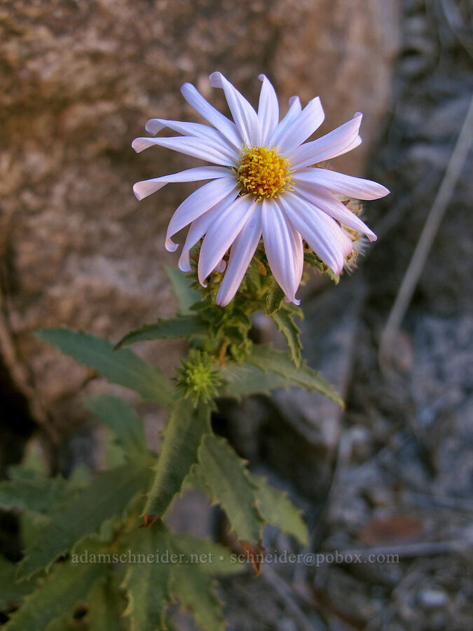 aster [La Barge Box Canyon, Superstition Wilderness, Arizona]