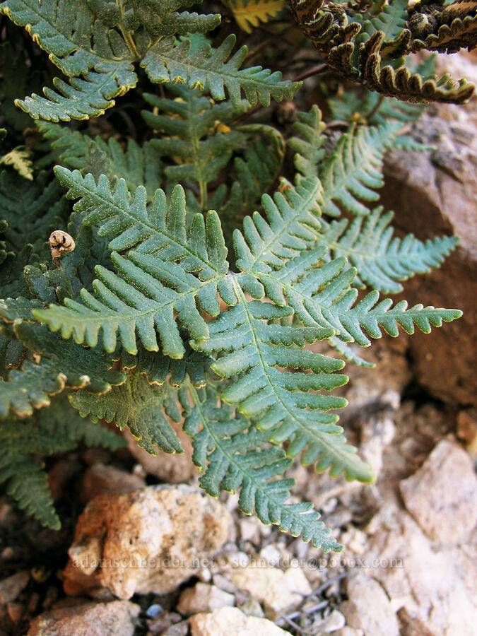 star cloak fern (Notholaena standleyi) [Boulder Canyon Trail, Superstition Wilderness, Arizona]
