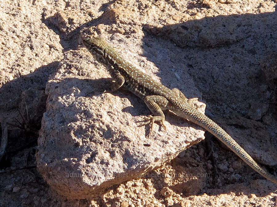 common side-blotched lizard (Uta stansburiana) [Boulder Canyon Trail, Superstition Wilderness, Arizona]