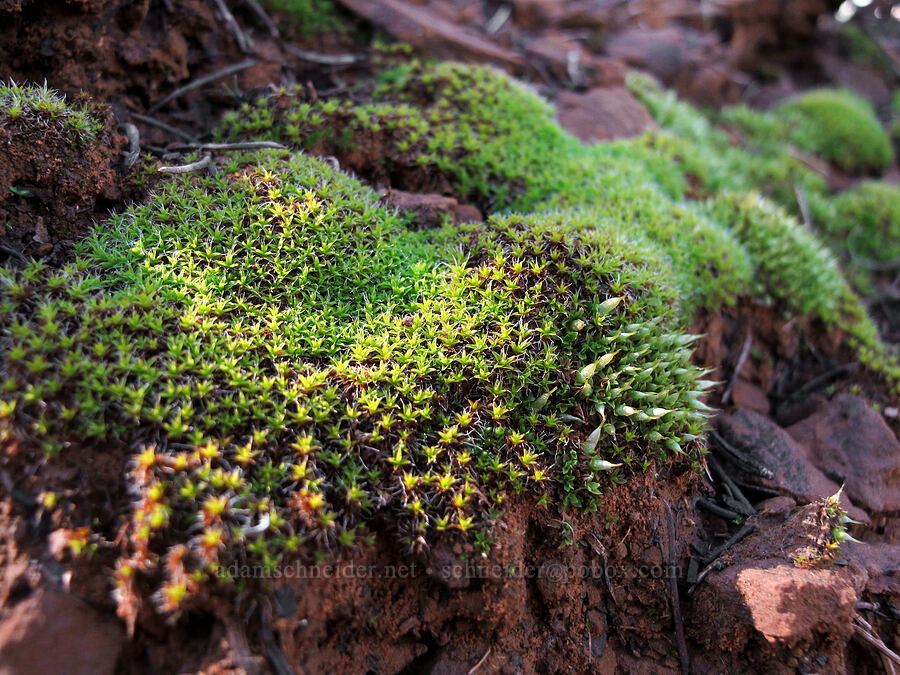 moss [Cathedral Rock Trail, Coconino National Forest, Arizona]