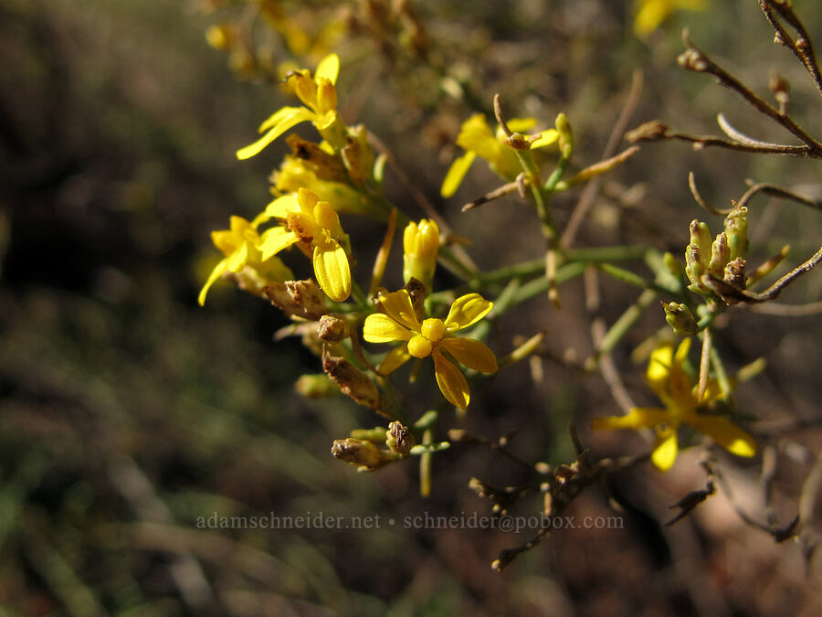 broom snakeweed (Gutierrezia sarothrae) [Cathedral Rock Trail, Coconino National Forest, Arizona]