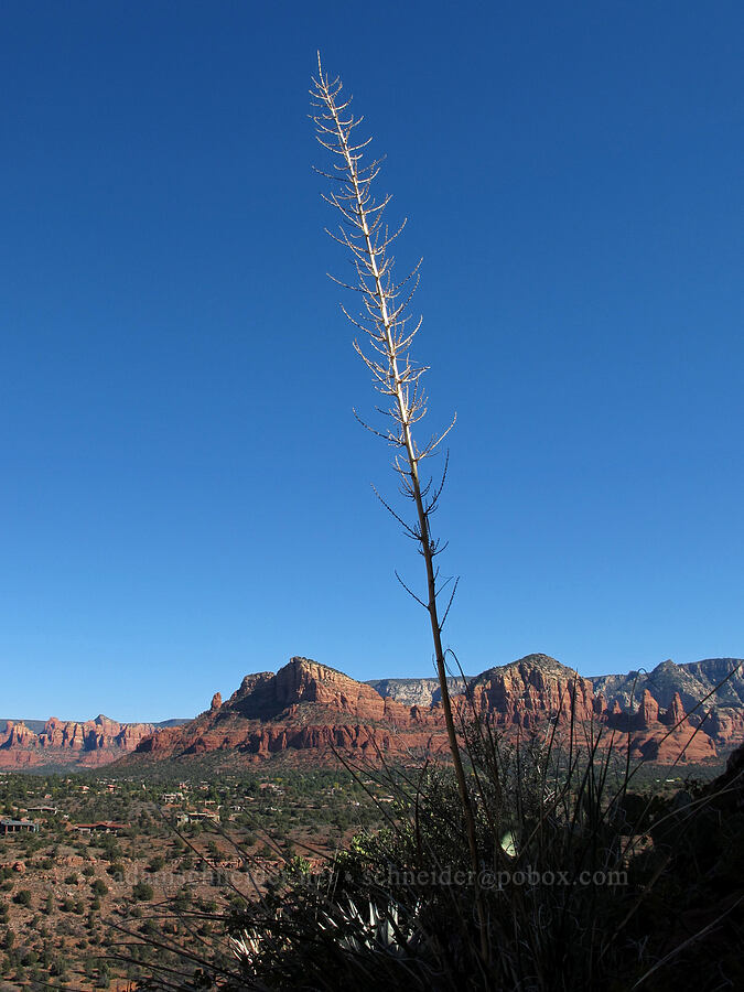yucca stalk (Yucca sp.) [Cathedral Rock Trail, Coconino National Forest, Arizona]