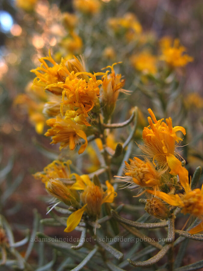 turpentine bush flowers (Ericameria laricifolia) [Cathedral Rock Trail, Coconino National Forest, Arizona]