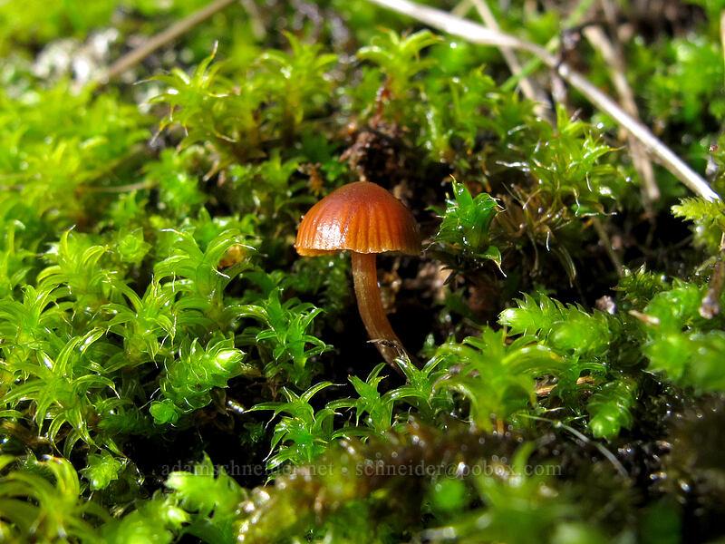 tiny mushroom & moss [Hamilton Mountain Trail, Beacon Rock State Park, Washington]