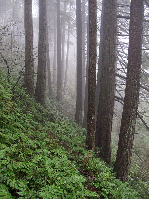 misty forest [Hardy Creek Trail, Beacon Rock State Park, Washington]