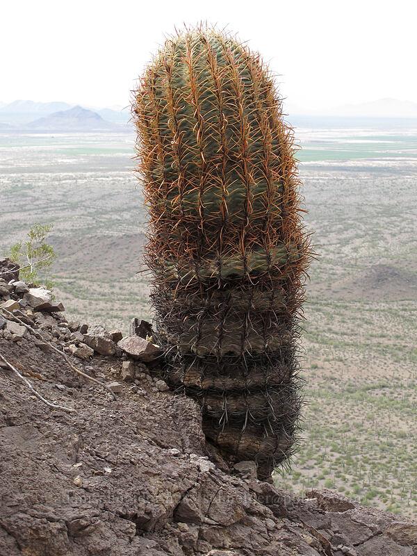 California barrel cactus (Ferocactus acanthodes var. acanthodes (Ferocactus cylindraceus var. cylindraceus)) [Hunter Trail, Picacho Peak State Park, Arizona]