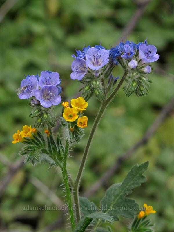 fiddleneck & distant phacelia (Amsinckia menziesii, Phacelia distans) [Hunter Trail, Picacho Peak State Park, Arizona]