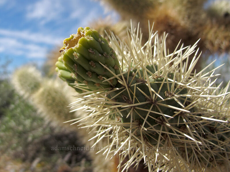 teddy-bear cholla fruit (Cylindropuntia bigelovii) [McDowell Sonoran Preserve, Scottsdale, Arizona]