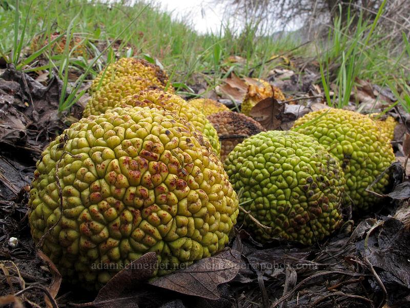 osage oranges (Maclura pomifera) [Balfour-Klickitat Trail, Klickitat County, Washington]