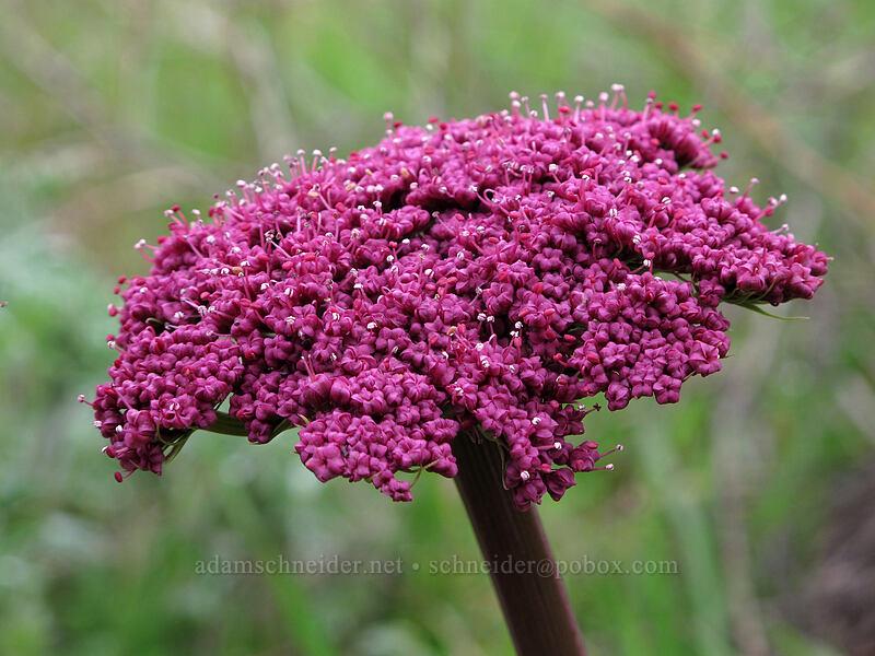 Columbia desert parsley (Lomatium columbianum) [Balfour-Klickitat Trailhead, Klickitat County, Washington]