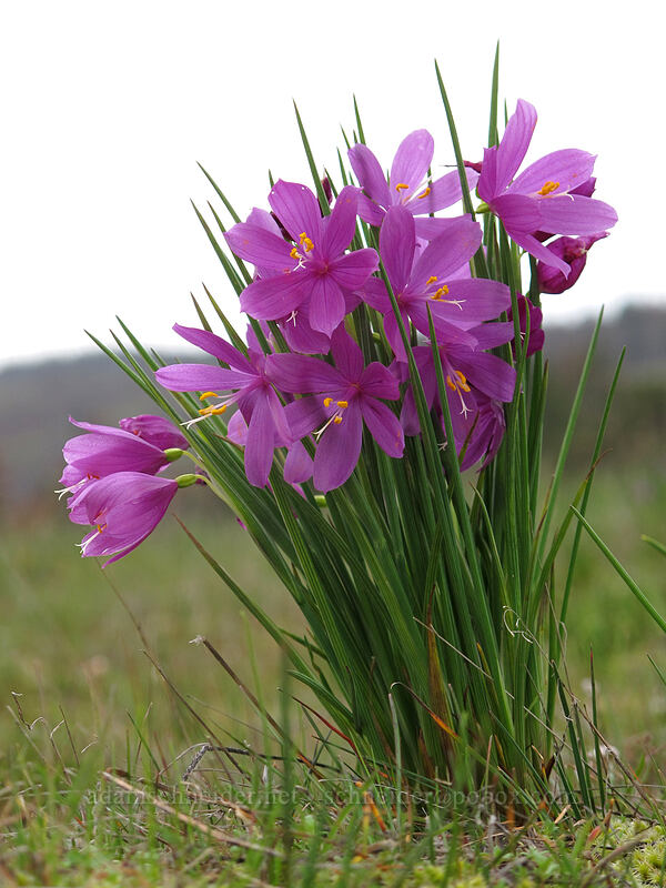 grass-widows (Olsynium douglasii) [Catherine Creek, Klickitat County, Washington]