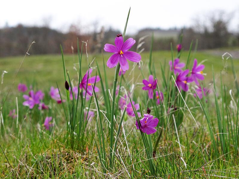 grass-widows (Olsynium douglasii) [Catherine Creek, Klickitat County, Washington]