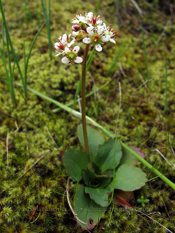 saxifrage (Micranthes rufidula) [Catherine Creek, Klickitat County, Washington]