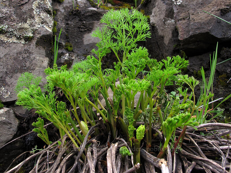 desert parsley shoots (Lomatium grayi) [Old Highway 8, Klickitat County, Washington]