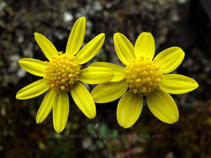 gold stars (Crocidium multicaule) [Old Highway 8, Klickitat County, Washington]