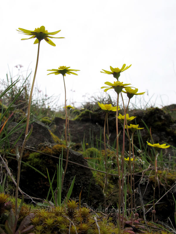 gold stars (Crocidium multicaule) [Old Highway 8, Klickitat County, Washington]