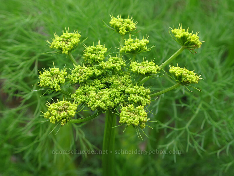 pungent desert parsley (Lomatium grayi) [Old Highway 8, Klickitat County, Washington]