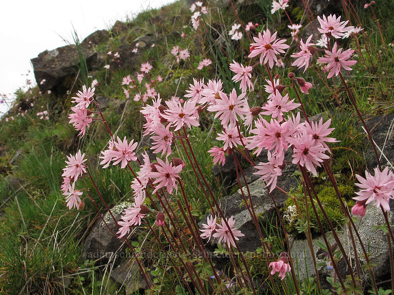 prairie stars (Lithophragma glabrum) [Old Highway 8, Klickitat County, Washington]