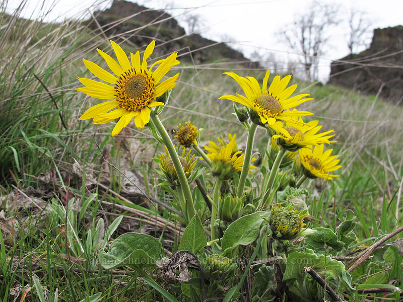 balsamroot (Balsamorhiza sp., Balsamorhiza careyana) [Highway 14, Klickitat County, Washington]