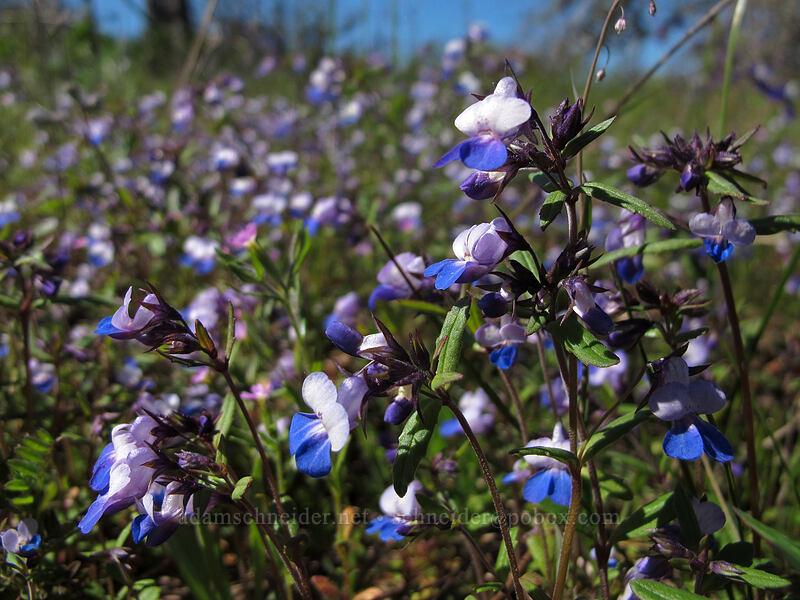 large-flowered blue-eyed-Mary (Collinsia grandiflora) [Memaloose Hills, Wasco County, Oregon]