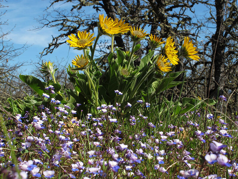 balsamroot & blue-eyed-Mary (Balsamorhiza careyana, Collinsia grandiflora) [Memaloose Hills, Wasco County, Oregon]