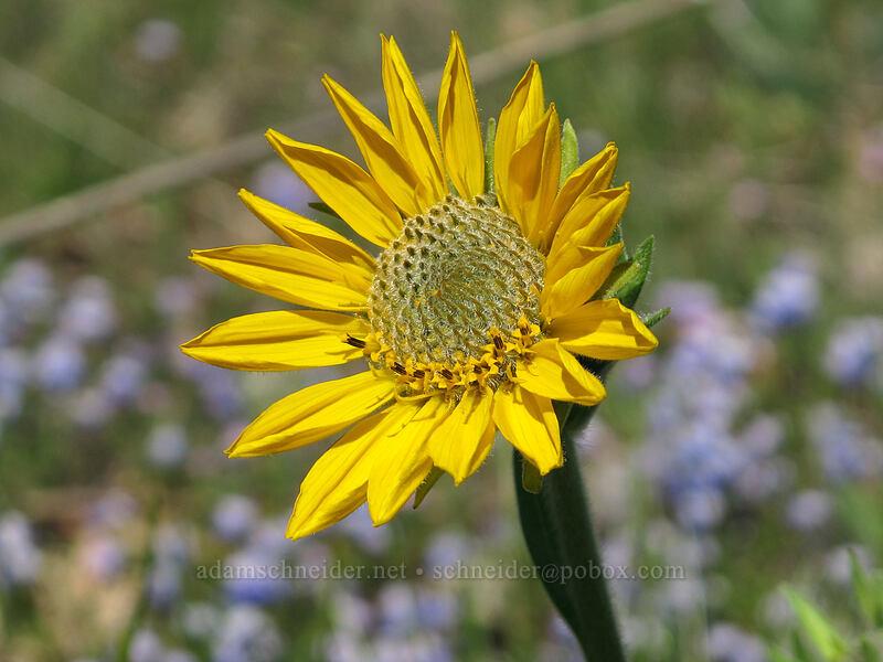 balsamroot (Balsamorhiza careyana) [Memaloose Hills, Wasco County, Oregon]