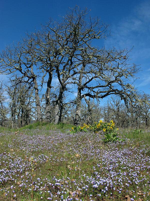 large-flowered blue-eyed-Mary & balsamroot (Collinsia grandiflora, Balsamorhiza careyana) [Memaloose Hills, Wasco County, Oregon]