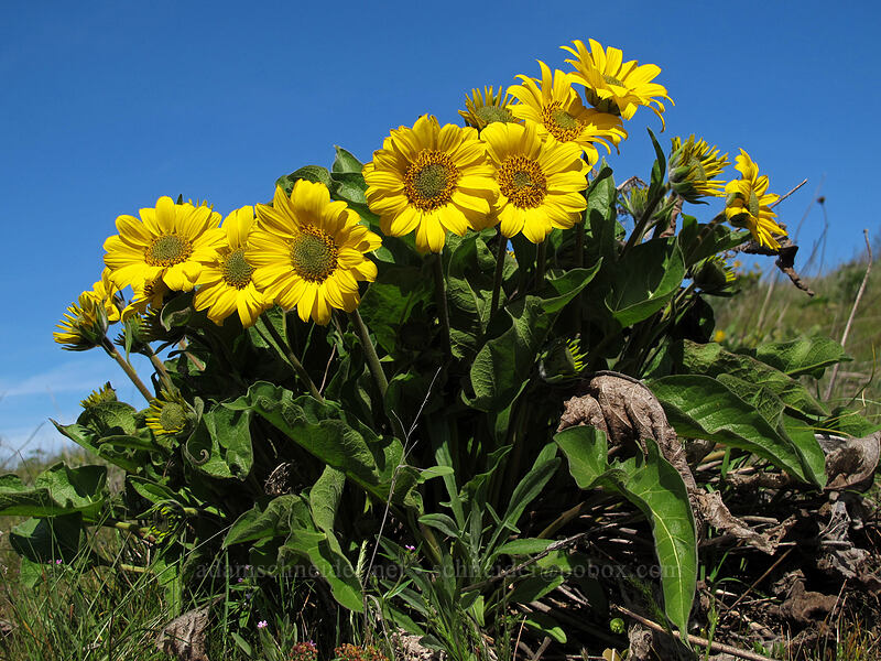 balsamroot (Balsamorhiza careyana) [Marsh Hill, Wasco County, Oregon]