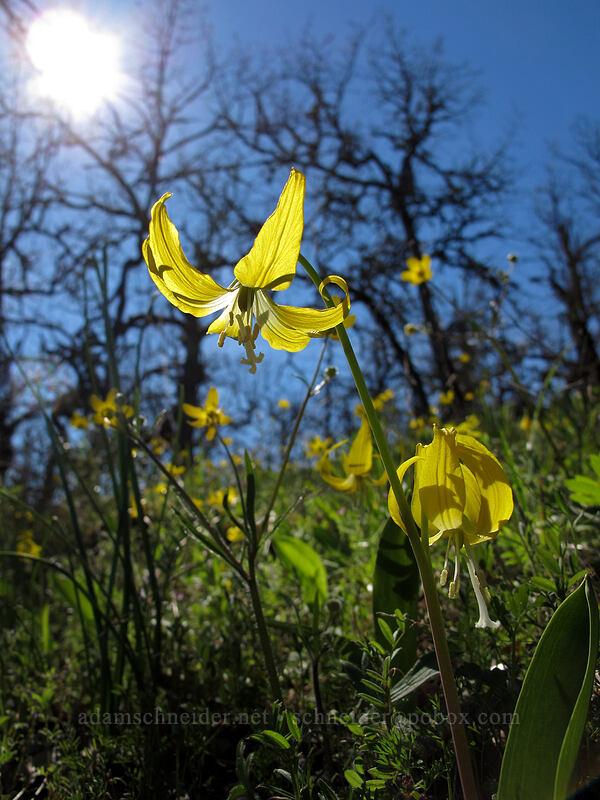 glacier lilies & buttercups (Erythronium grandiflorum, Ranunculus occidentalis) [Chatfield Hill, Wasco County, Oregon]