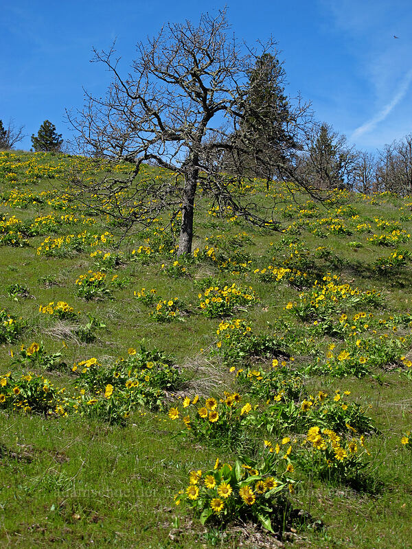 balsamroot & an oak tree (Balsamorhiza careyana) [Chatfield Hill, Wasco County, Oregon]