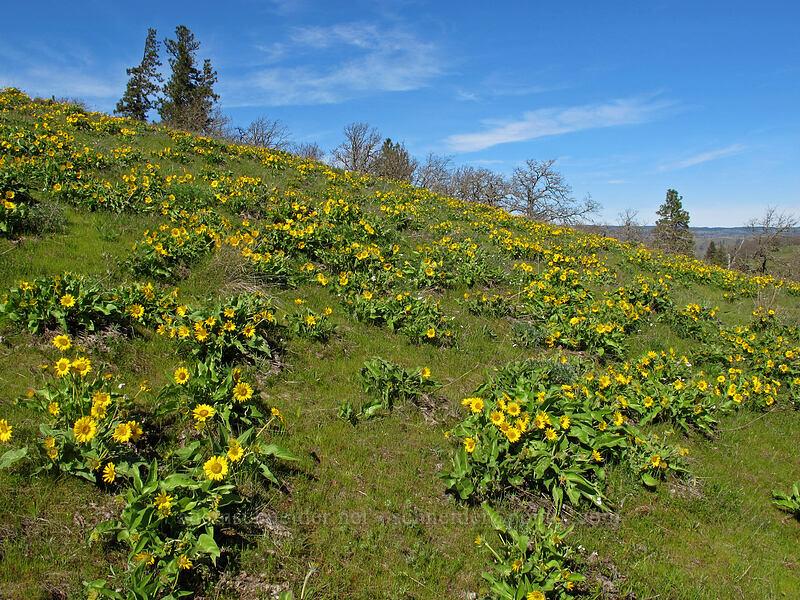 balsamroot (Balsamorhiza careyana) [Chatfield Hill, Wasco County, Oregon]