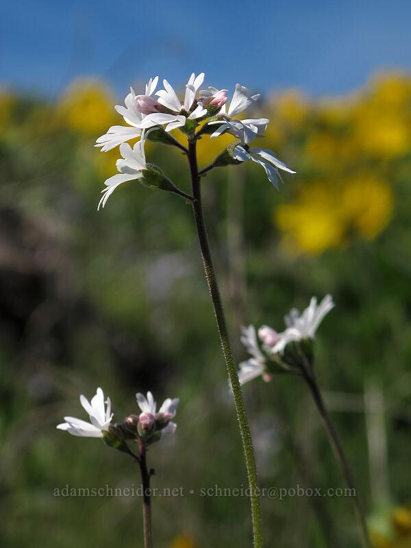 prairie stars (Lithophragma parviflorum) [Chatfield Hill, Wasco County, Oregon]