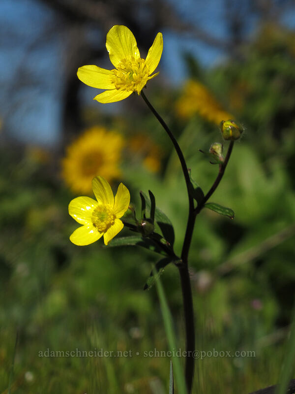 buttercups (Ranunculus occidentalis) [Chatfield Hill, Wasco County, Oregon]