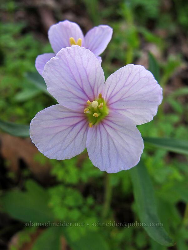 oaks toothwort (Cardamine nuttallii) [Memaloose Hills, Wasco County, Oregon]